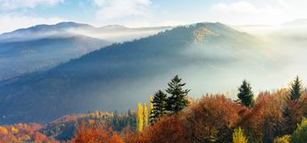 Foggy autumn scenery in mountains at sunrise. Panoram of foggy autumn scenery in mountains at sunrise. red and yellow foliage on the trees. hazy weather in the royalty free stock images
