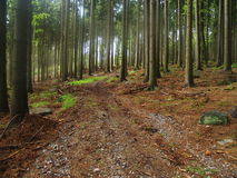 Foggy autumn spruce forest Stock Photo