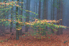 Foggy beech forest in autmn Stock Photo