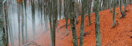 Foggy beech forest Stock Image