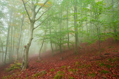 Foggy beech forest in autumn. Beech forest in autumn with thick fog royalty free stock image