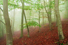 Foggy beech forest in autumn. Beech forest in autumn with thick fog royalty free stock images