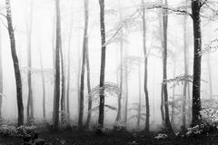 Foggy beech forest Royalty Free Stock Photography