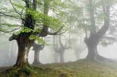 Foggy beech forest Stock Photos