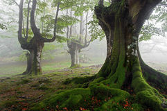 Foggy beech forest Royalty Free Stock Image