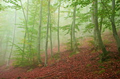 Foggy beech forest. Beech forest with thick fog at the end of summer / beginning of autumn Royalty Free Stock Photos