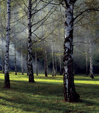 Foggy Birch Forest Stock Photo