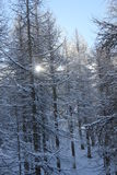 Foggy day in Winter season: Tree branches covered with snow. Madesimo, Italy: Foggy day in Italy Winter season. Tree branches covered with snow stock photos