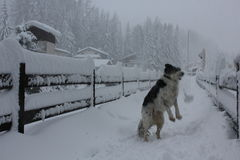 Foggy day in Winter season: Dog playing in the snow Stock Photo