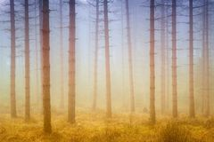 Foggy dreamy forest with sunshine at morning royalty free stock images