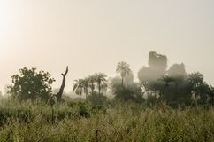 Foggy early morning with sunrise at jungle with palms and lush grass in Gambia, West Africa.  Royalty Free Stock Image