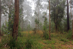 Foggy eucalypt Royalty Free Stock Images
