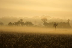 Foggy Everglades Morning. A foggy winter morning in the Everglades, Big Cypress National Preserve Royalty Free Stock Image