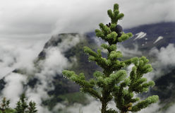 Foggy Evergreen stock photos