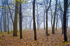 Foggy fores Royalty Free Stock Photos