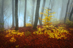 Foggy fores during fall Royalty Free Stock Image