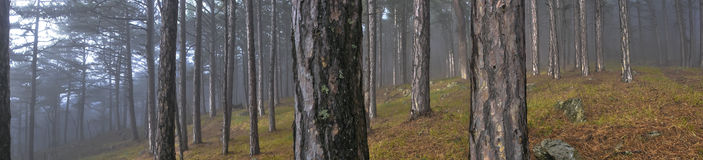 Foggy forest. With grass and stones Stock Photos