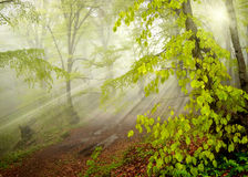 Foggy Forest Royalty Free Stock Images