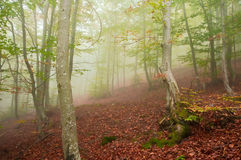 Foggy forest in autumn. Beech forest with thick fog at the beginning of autumn royalty free stock photo