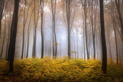 Foggy forest during autumn Royalty Free Stock Photo