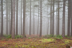 Foggy forest Autumn Fall landscape Royalty Free Stock Photography