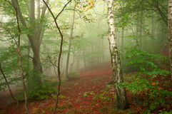Foggy forest in autumn. Forest in autumn with thick fog royalty free stock images