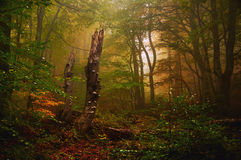 Foggy Forest Autumn Tree leaves Royalty Free Stock Photo