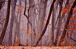 Foggy forest in autumn. Stock Image