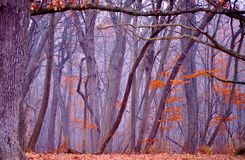 Foggy forest in autumn. Stock Images