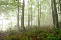 Foggy forest. Beech and fir forest in the evening, after haevy summer rain, foggy and misterious Royalty Free Stock Photos
