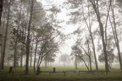Foggy forest. Big Pine tree forest and foggy at Thung Salang Luang National Park Thailand Royalty Free Stock Photography