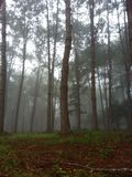 Foggy forest. Big tree Royalty Free Stock Photo