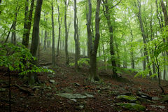 Foggy Forest with Big Trees. Misty Forest with Rocks Covered by Moss and Stump-Wood Stock Photo