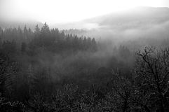 Foggy forest. Dark winter foggy coniferous forest Stock Photos