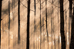 Foggy forest in early morning Stock Image