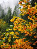 Foggy forest of fall color royalty free stock images