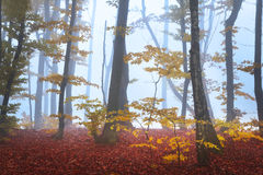 Foggy forest during fall Royalty Free Stock Photos