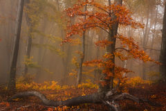 Foggy forest during fall and a red tree Stock Images