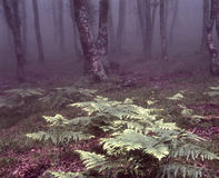 Foggy forest with ferns Royalty Free Stock Image