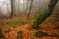 Foggy forest in Giant mountains. Foggy autumn day in Rýchorský prales in Giant mountains in Czech republic. Really mysterious place royalty free stock image