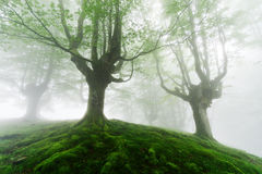 Foggy forest with green roots Royalty Free Stock Photography