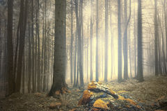 Foggy forest landscape with magic light Stock Images