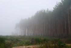 Foggy forest landscape. Foggy pine forest calm landscape Stock Photo