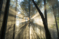 Foggy forest light Stock Image