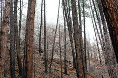 Foggy Forest. A forest with a light sprinkling of snow and fog creeping in from the background Stock Photo