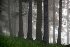 Foggy in the forest. Foggy morning in the pine forest Royalty Free Stock Photos