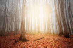 Foggy forest. Royalty Free Stock Image