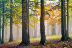 Autumn landscape. Mystic colored foggy forest Stock Photography