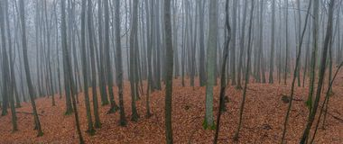 Foggy Forest panorama on a misty autumn day. Panorama of foggy Forest of deciduous trees on a misty autumn day Stock Image
