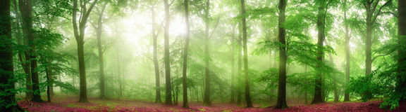 Foggy forest panorama with soft rays of light. Green forest panorama with soft rays of light falling through fog and flattering the fresh foliage Royalty Free Stock Photography
